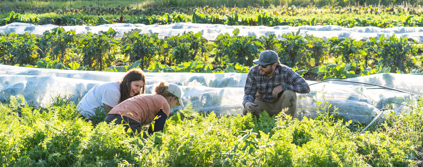 Trio of agriculture students weeding amidst rows of vegetables.